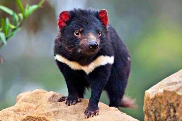Todo lo que debes saber acerca del demonio de Tasmania